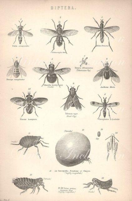 diptera--botanical-drawings-vivarium