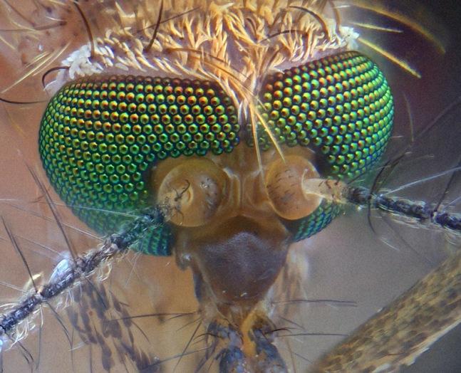 p3-mosquito